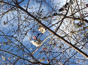 171111-十月桜.png