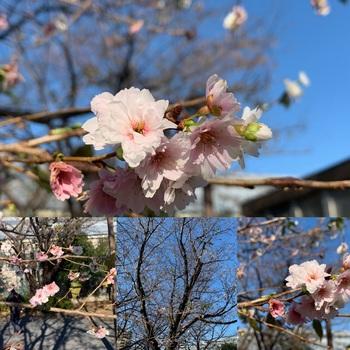181210_10月桜-自撮り棒で撮影.JPG