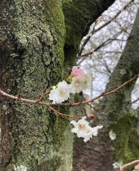 今年も咲いていました-10月桜.png